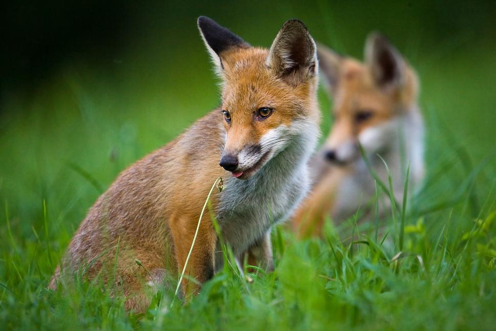 líšky odfotené sigmou 800/5.6