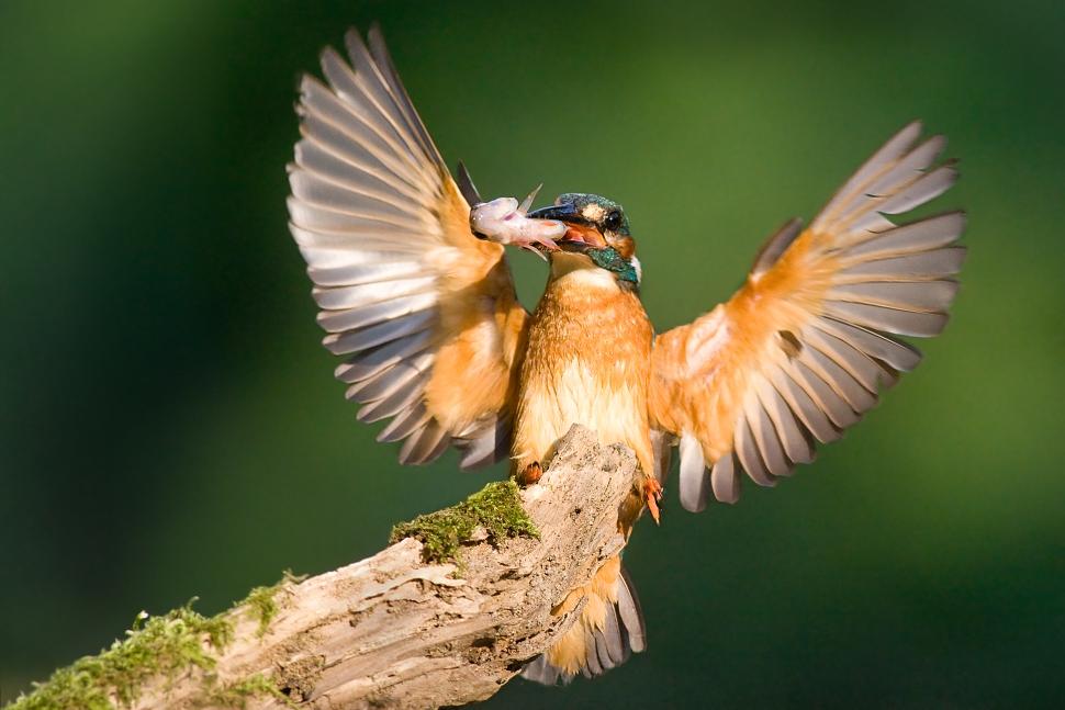 Samček rybárika pristáva na konári s ulovenou rybou v zobáku.