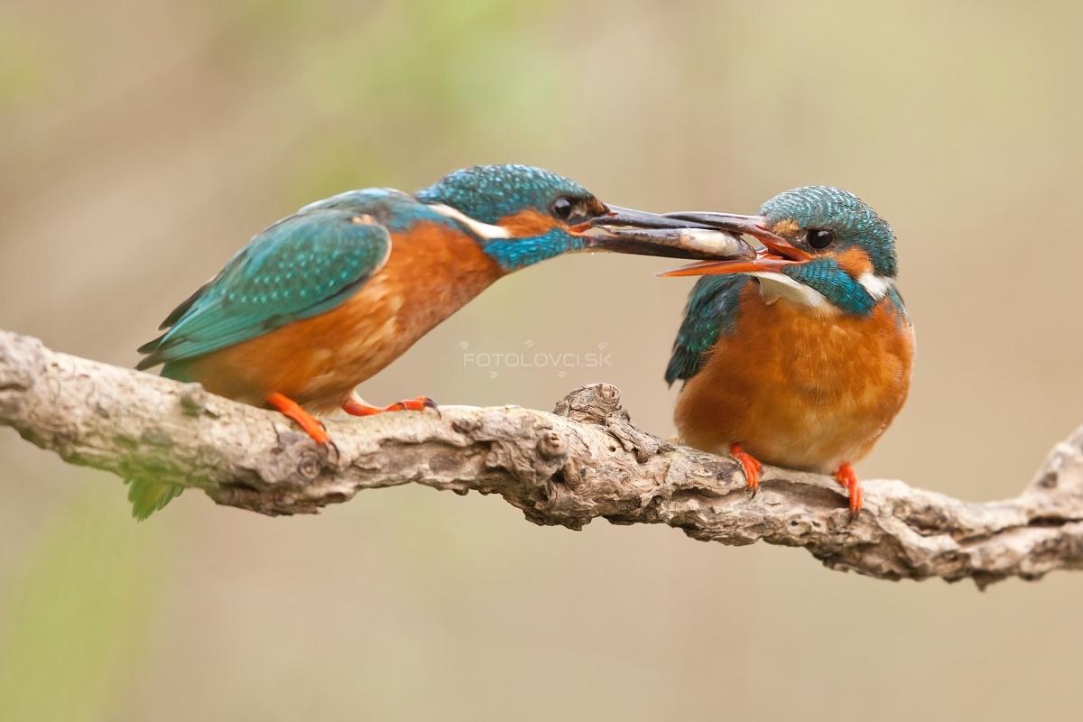Samček podáva rybku samičke, aby si s ňou vytvoril puto pred párením.