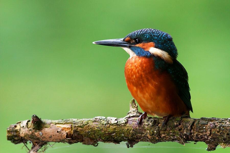 Mladý rybárik krátko po vyletení z hniezda