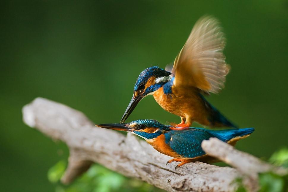 V čase rozmnožovania sa rybáriky pária niekoľkokrát za deň.